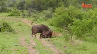 A Vingança do Bufalo Contra o Leão