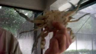 HOW TO HANDLE LIVE BLUE CRABS