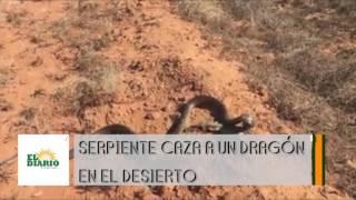 Serpiente caza a un dragón en el desierto