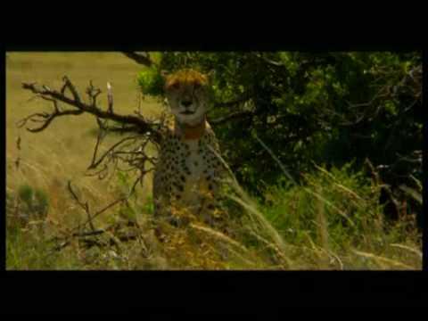 Cheetah of Samara
