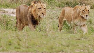 This Lion Couple Mates Over 100 Times a Day