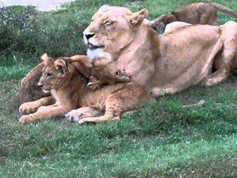 South Africa Schotia game park, lioness and five cubs