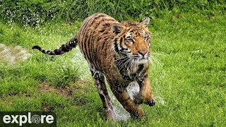 Vacation Rotation - Big Cat Rescue powered by EXPLORE.ORG