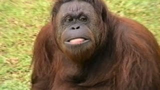 Orangotango, Macacos, Primatas, Orangotan, Pongo de Bornéo, Zoológico São Paulo,