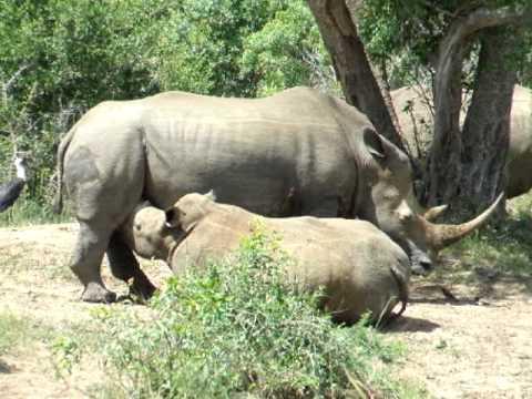 Rhino_Buffalo.AVI
