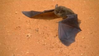 Morcego - Animal do Sertão Brasileiro