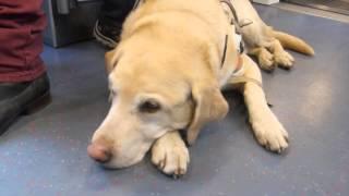 Blindenhunde - treue Helfer