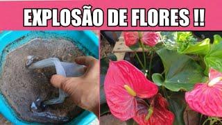 ADUBO que ativa a floração de ANTÚRIOS (Veja sua planta EXPLODIR em FLORES!!!!!)