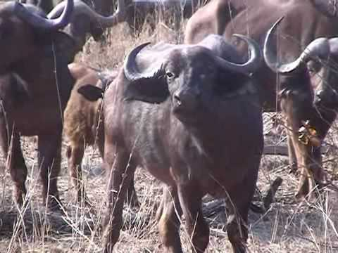 Kruger Park Safari, South Africa, Morning Encounter with elephants and buffalo´s
