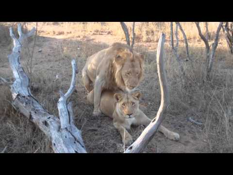 Lion Love AWESOME
