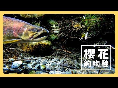 櫻花鉤吻鮭 - 公視《台灣特有種》微視界HD版 Episode#8