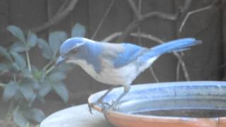 A Blue Jay respons to his YouTube recorded calls