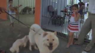video engraçado cachorro Gigante   atropela  o cachorrinho
