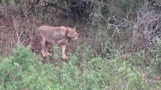 Leeuwen vangen prooi in Hluhluwe National Park