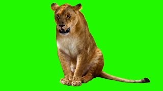 Female Lion | Green Screen Animals | Download Link