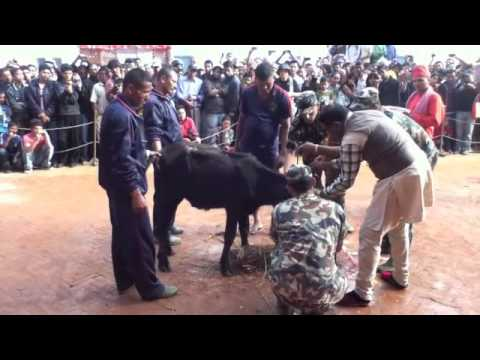Ritual animal slaughter in Nepal