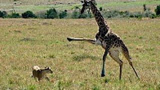 Giraffe kills lion  Giraffe attacks lion pride and kicks one of them to death