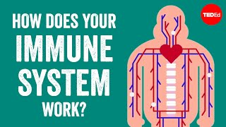 How does your immune system work? - Emma Bryce width=