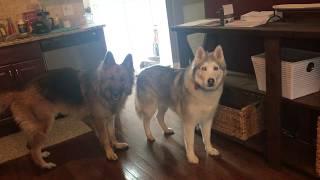 Husky and Shep need Dunkin