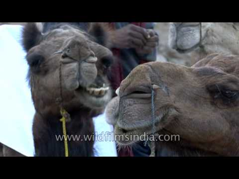 Camels resting after a safari trip – National Chambal Gharial Wildlife Sanctuary