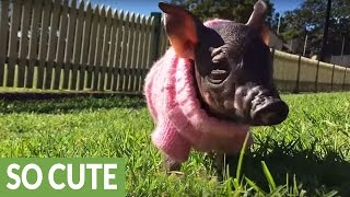 Rescued Mini Piglet plays at the dog park - Melts hearts!