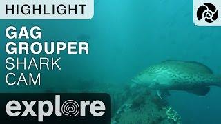 Gag Grouper Fish - Shark Live Cam Highlight