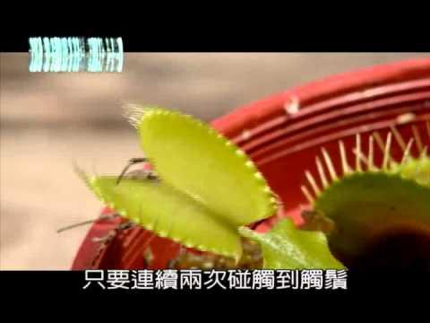 捕蠅草怎麼抓蟲?