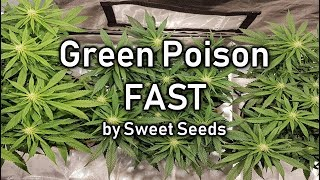 0:23 / 2:49 Time Lapse Grow - Green Poison FAST by Sweet Seeds