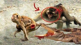 mãe macaco Salve bebê a partir de grande macaco, Águia vs mangusto, elefante vs anaconda, leão vs bú