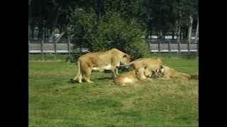 lions having sex! width=