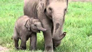 Karneval životinja : Slon