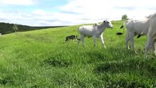 Honda tocando as vacas