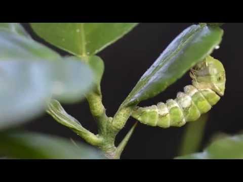 Growth of Swallowtail ButterflyTime-Lapse // 鳳蝶成長過程縮時攝影 - YouTube