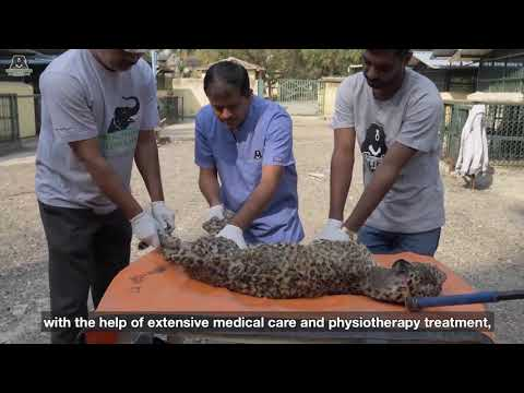Paralysed leopard learns to walk again
