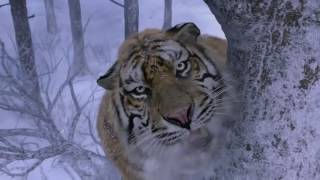 Royal bengal Tiger Attack  scene HD