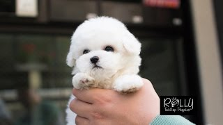 Doll Face Cute White Bichon :) 'Ace' - Rolly Teacup Puppies