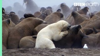 Watch a polar bear attack a colony of walruses. Who will win?
