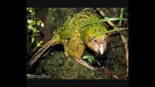 Countdown to Earth Hour: 3 Days! (Kakapo)