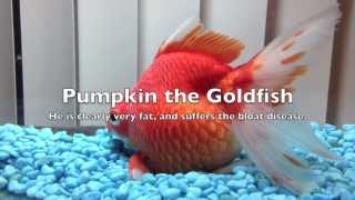 My Extremely Fat Goldfish - REALLY FAT!