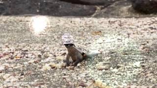 Iguana running in the 90's [SHOCKING]