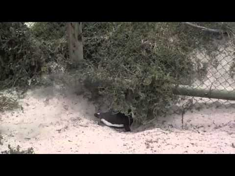 Jackass Penguins – African Penguins – Cape Town, South Africa