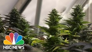 Medical Marijuana 'Refugees' Flock To Colorado | NBC Nightly News