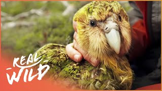 Kakapo: The Bird That Doesn't Know How To Fly | Wild Things