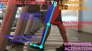 THE PHASES OF WALKING (GAIT CYCLE BREAKDOWN)