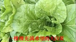 大白菜種植你吃过没见过的历程
