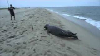 Fish Stealing Seal - Crazy video.flv