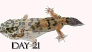 Leopard Gecko Time Lapse Tail Regeneration (Regenerated Leopard Gecko Tail)
