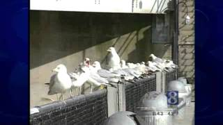 Wild Moments: Why Do Some Seagulls Live Away From Sea?