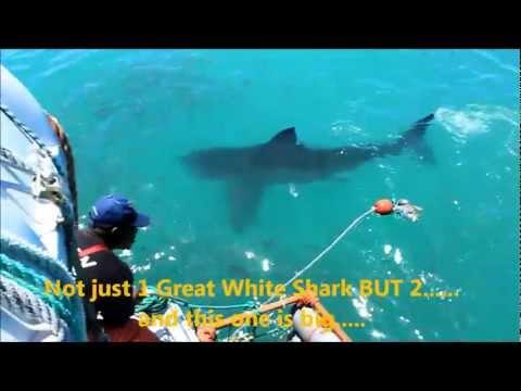 Great White Shark cage diving, Hermanus.wmv