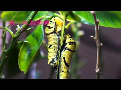 第六屆自然生命印象「自然地圖」短片徵選  鳳蝶來的季節  陳啟瑞 - YouTube
